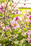Rosa chinease Anemone Stockbilder