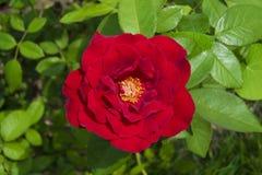 Rosa chinensis fotografía de archivo libre de regalías
