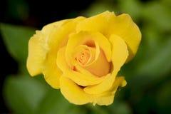 Rosa chinensis Fotografie Stock Libere da Diritti
