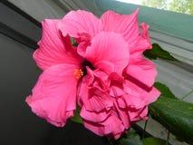 A rosa chinesa est? na flor A cor vermelha bonita da flor cor-de-rosa Detalhes e close-up imagens de stock royalty free