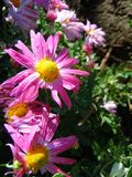 Rosa Chruusanthemums med daggdroppar på kronblad royaltyfria bilder