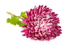 Rosa Chrysantheme Stockbild