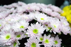 Rosa Chrysantheme Lizenzfreie Stockfotografie