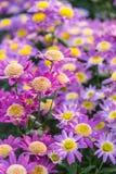 Rosa Chrysantheme Stockfoto