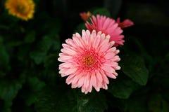 Rosa Chrysantheme stockbilder