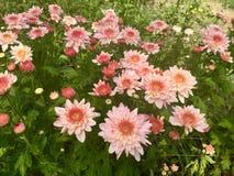 Rosa Chrysantheme auf dem Gebiet Lizenzfreies Stockbild