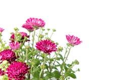Rosa Chrysantheme in der Ecke des weißen Hintergrundes Stockbilder