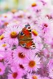 Rosa Chrysantheme oder Aster des Herbstes blüht Hintergrund mit schönem europäischem Pfauschmetterling Lizenzfreies Stockfoto