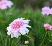 Rosa Chrysantheme, in voller Blüte stockbild