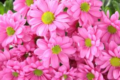 Rosa Chrysanthemehintergrund Lizenzfreies Stockfoto