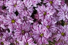Rosa Chrysanthemehintergrund Lizenzfreies Stockbild
