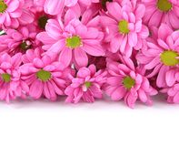 Rosa Chrysanthemen über Weiß mit Beispieltext Stockfotos