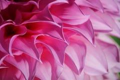 Rosa Chrysanthemen-Blumen im Garten Stockbilder