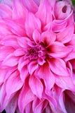 Rosa Chrysanthemen-Blumen im Garten Stockfotografie