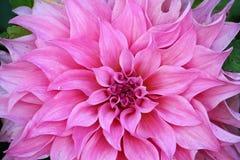 Rosa Chrysanthemen-Blumen im Garten Lizenzfreie Stockfotografie