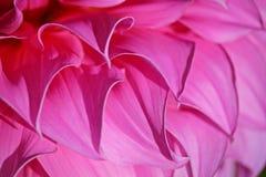 Rosa Chrysanthemen-Blumen im Garten Lizenzfreie Stockbilder