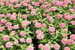 Rosa Chrysanthemen-Blumen-Sommer-Feld lizenzfreie stockfotografie