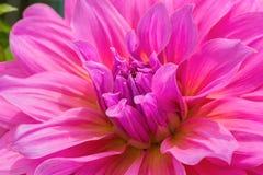 Rosa Chrysanthemenblume Lizenzfreie Stockfotografie