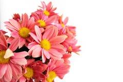 Rosa Chrysanthemenblumen auf weißem Hintergrund lizenzfreie stockbilder