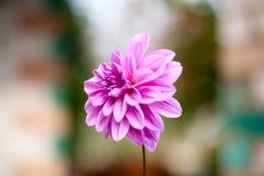 Rosa Chrysanthemendahlie Lizenzfreie Stockbilder