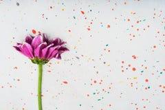 Rosa Chrysanthemum arkivbilder