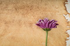 Rosa Chrysanthemum royaltyfri foto