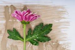 Rosa Chrysanthemum royaltyfria bilder