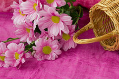 Rosa Chrysanthemum Royaltyfria Foton
