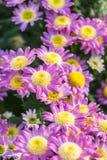 Rosa Chrysanthemum Fotografering för Bildbyråer