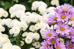 Rosa Chrysanthemum royaltyfri fotografi
