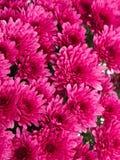 Rosa Chrysanthemum arkivbild