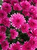 Rosa Chrysanthemum royaltyfri bild