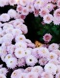 Rosa Chrysanthemum Härlig höstblomma i en trädgårds- dekor blom- tappning för bakgrundsdesign Arkivbild