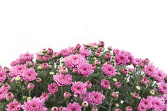 Rosa chrysanthemum på vit bakgrund arkivfoton