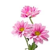 Rosa chrysanthemumblommor Arkivbild
