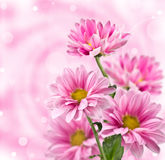 Rosa chrysanthemumblommor Royaltyfri Bild