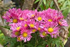 Rosa chrysanthemumblommor Royaltyfri Fotografi