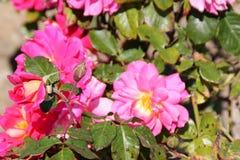 Rosa & x27; Chybienie Behavin& x27; zdjęcia royalty free
