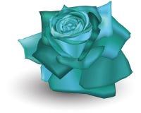 Rosa ciana Imagens de Stock Royalty Free