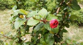 Rosa cinese Immagini Stock Libere da Diritti