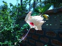 Rosa cinese arancione-chiaro vicino al muro di mattoni immagini stock