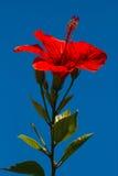 Rosa cinese di hibiscus rosa sinensis Fotografia Stock