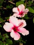 Rosa cinese rosa Fotografia Stock Libera da Diritti