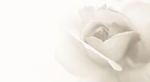 Rosa clásica dulce del color en estilo suave del color y de la falta de definición en textura del papel de la mora Foto de archivo libre de regalías