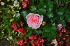 Rosa claro se levantó Imagenes de archivo