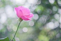 Rosa claro subió en bokeh del fondo imagen de archivo