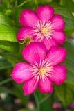Rosa Clematis Royaltyfri Foto