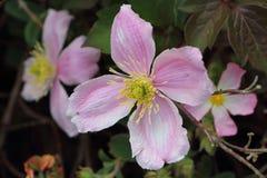 Rosa clematis i en trädgård Royaltyfri Bild