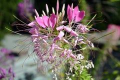 Rosa Cleo mig hassleriana- eller spindelblomma eller spindelväxt med suddighetsgräsplanbakgrund arkivfoton