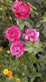Rosa Cleopatra is slaand in zijn schoonheid stock afbeeldingen